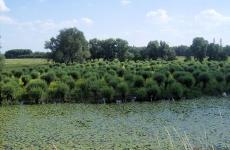 knott-willows-new-growth-waardenburg