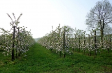 Apple Trees in Blossom in Orchard