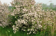 Wild Apple Tree with Blossom