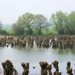 Knott Willows